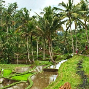 Indonesia, Bali, Ubud, rice fields, green, nature