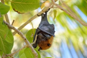 Maldives, Island, Paradise, flying fox, cute