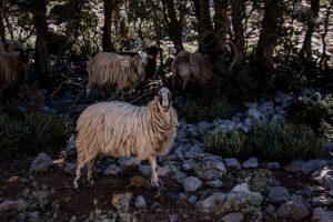 Wildziege, Ziege, Hochebene, Kreta